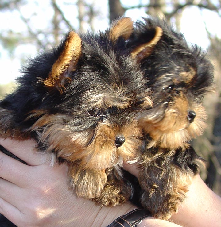 Valintine Teacup Yorkie Puppies For Free Adoption St Louis Dogs