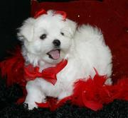 Adorable Maltese Puppies For A New Home 11 weeks old