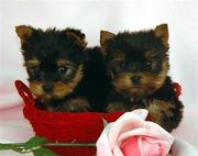 marvelous Pure Breed Teacup Yorkie Puppies For Re-Homing