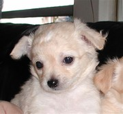 Gorgeouse and outstanding Chihuahua puppies free for adoption.