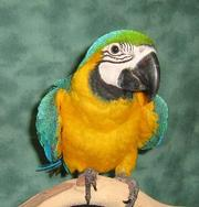 Outstanding pets Blue And Gold Macaw