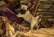 cute and affectionate AKC reg  female pug puppy for adoption to good h