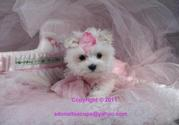 WHITE VET CHECKED TEACUP MALTESE PUPPIES NOW AVAILABLE