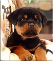 Cute and Lovely Affectionate Rottweiler Puppies for adoption to good h