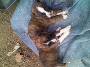 Boxer akc puppies
