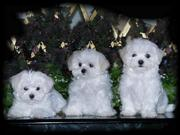 TEACUP Maltese PUPPIES FOR /Free ADOPTION.